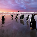Gentoo Penguins, Falkland Islands (Islas Malvinas), British Overseas Territory