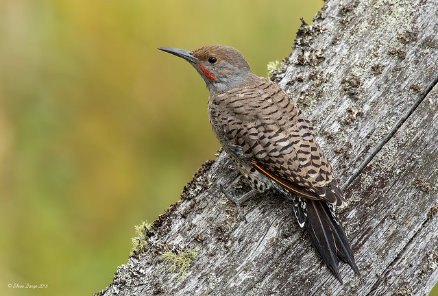Northern Flicker (Red Shaft)