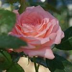 おはようございます! +1150   Good morning my friends!   『 #ノブレス』#Noblesse   今日も薔薇をお届け♪  サーモンピンク 綺麗ですね! ブライダル用に開発された品種  ドイツ タンタウ社 1856年作出 #岐阜畜産センター にて  いつもありがとうございます(^-^) 余り御返事お返し出来ず 申し訳ありません。  今日も笑顔と感謝忘れずに(^-^)  素敵な1日をお過ごし下さい!  #flowers #roses #nice #parks #RoseGar
