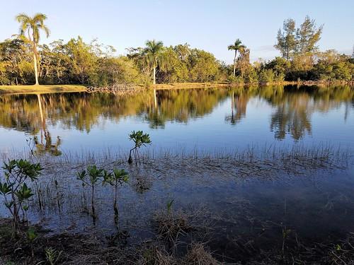 biscaynebay coralgables miami florida mathesonhammockpark dadecounty park pond coconuttree samsungsmg935a samsunggalaxys7edge sunshinestate trees sunset mangrove