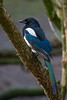 Magpie by Mister Oy