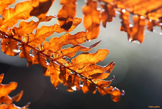 Osmunda regalis - autumn