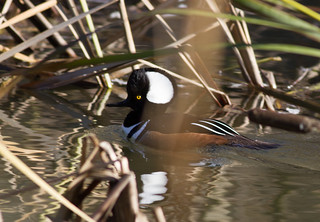 Hooded Merganser | by Dwine76