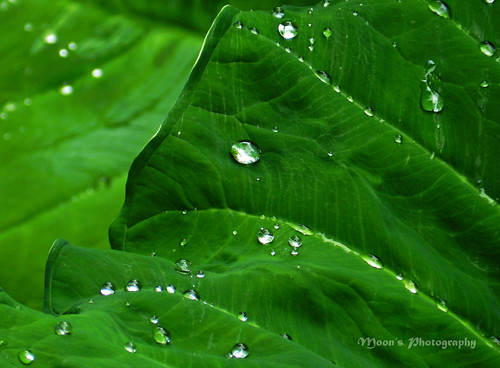 raindrops (on colocasia leaves) | by moon@footlooseforever.com