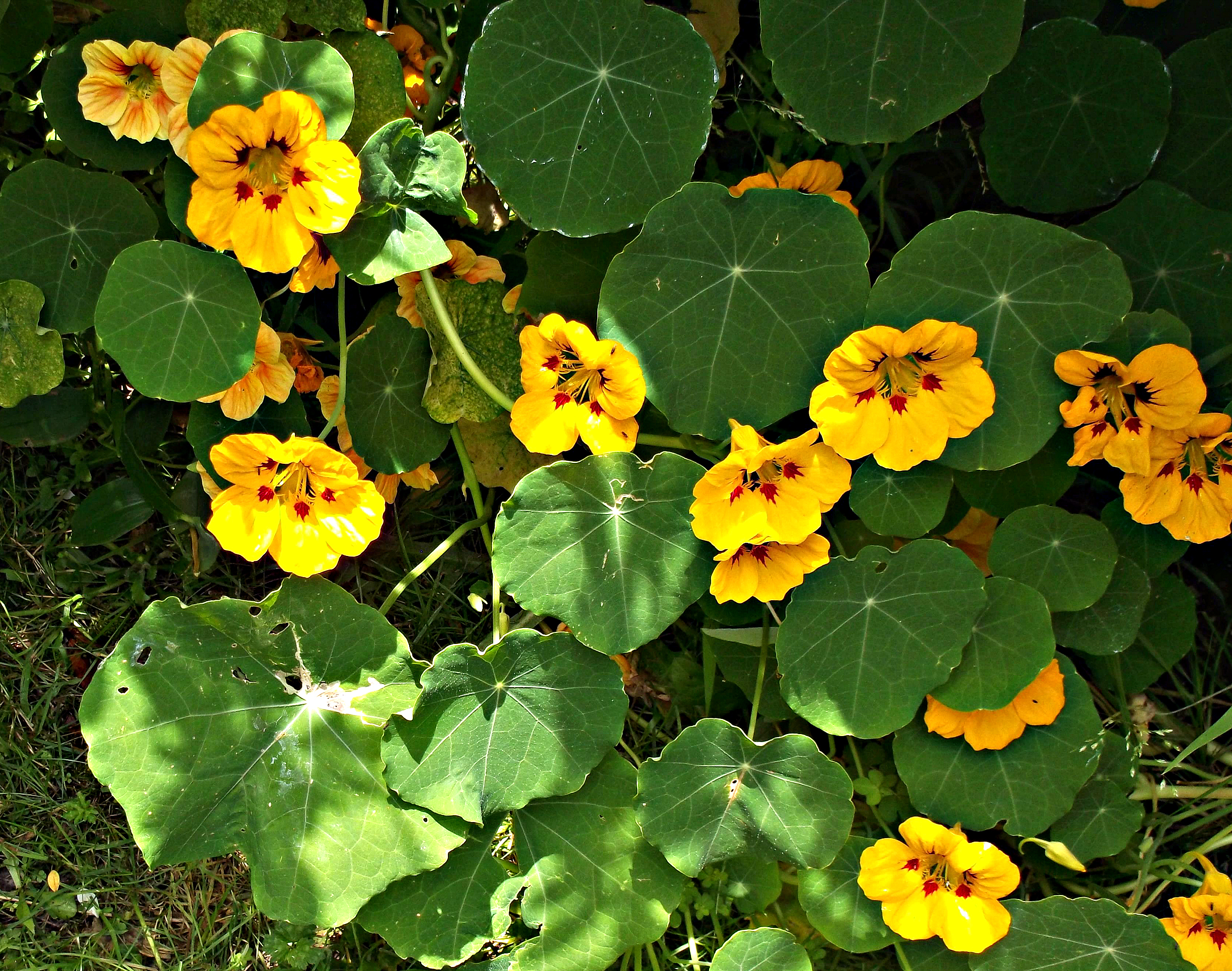 Nasturtium | Best Spring Herbs for your garden | spring herbs and spices