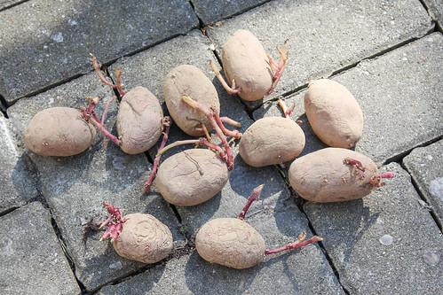 Saatkartoffeln | by blumenbiene