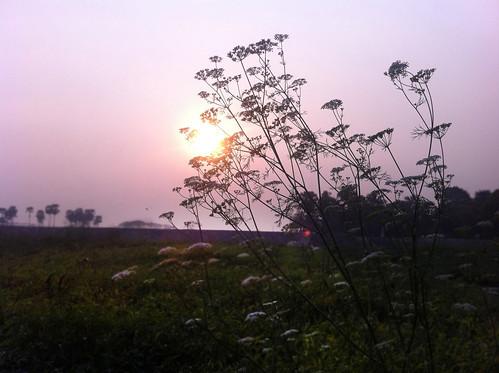 outdoor foliage flower vegetable coriander plant sunset twilight bangladesh garden iphone4 apple mac
