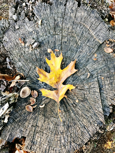 Fall Leaves on a tree stump | by THEMACGIRL*