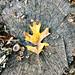 Fall Leaves on a tree stump