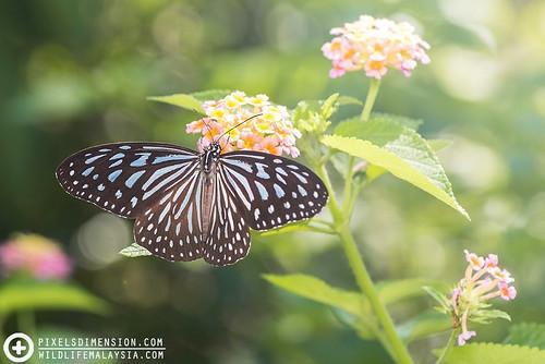 A Dark Glassy Tiger- Parantica agleoides | by PF T.J.