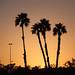 Palm Trees at Sunset Moon Block Party - Pomona, California