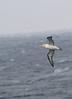 Short-Tailed Albatross by blueeyes_inoki