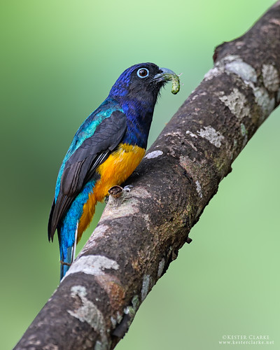 Green-backed Trogon with Caterpillar | by Kester Clarke