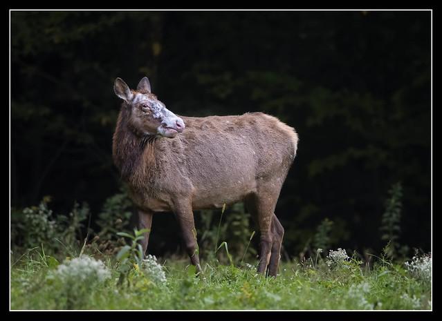 Rare White Face (Piebald) Elk...