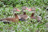 Black-bellied Whistling Duck (Dendrocygna autumnalis) by Gerald (Wayne) Prout