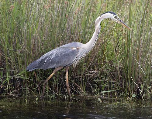 Great Blue heron -  Back Bay National Wildlife Refuge Virginia Beach Va. | by watts_photos