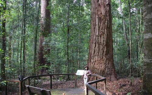 nymboibinderaynationalpark chensmallbird eucalyptusinrainforest eucalyptusmicrocorys dorrigonsw normanjollypicnicarea talltrees talltree myrtaceae australiasbiggesttrees