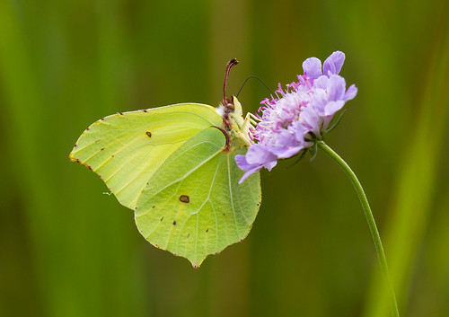 Brimstone - Butterfly | by naturalengland