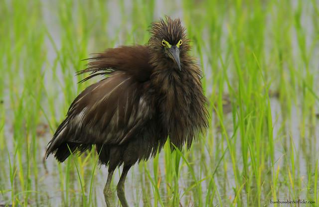 นกยางกรอกพันธุ์จีน / Chinese Pond Heron