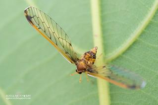 Derbid planthopper (Derbidae) - DSC_3260