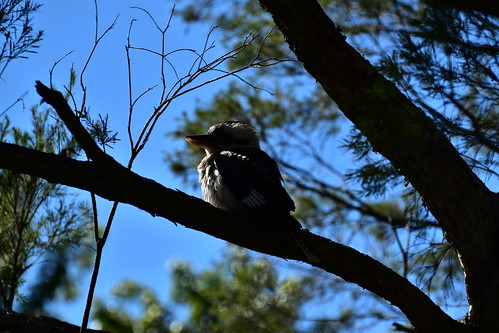 nikon d5500 nikkor nikkor70300mm sky bluesky bundaberg bird bokeh vr11 australia kookaburra sun sunrise trees 500v20f 7dwf topf25