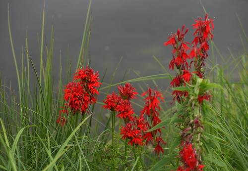 Cardinal Flowers | by HorsePunchKid