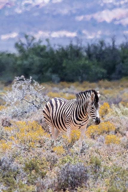 zebra Western Cape