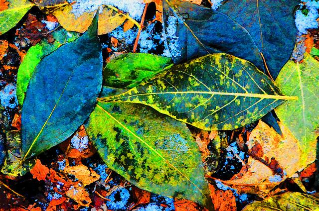 Dark Green and Brilliant Blue Leaves, Linne Woods, Nov 26, 2014 72-3 full bpz in explore