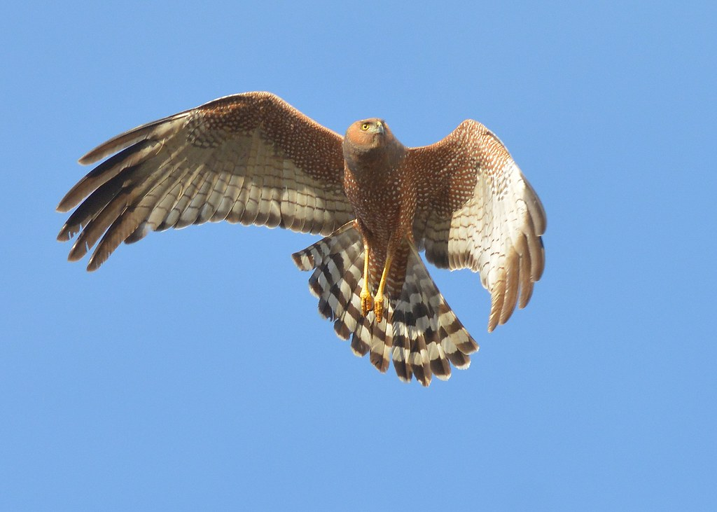 Spotted Harrier on a turn
