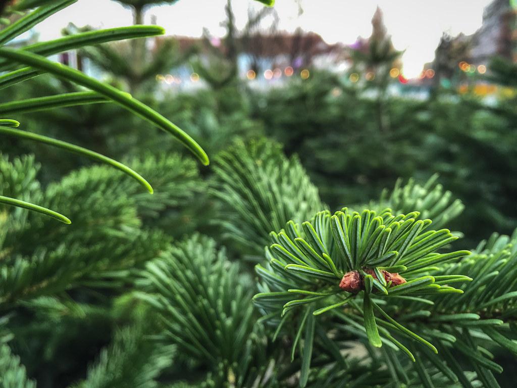Douglasie Weihnachtsbaum Kaufen.Den Besten Weihnachtsbaum Kaufen Und Finden