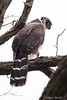 Collared Forest-Falcon by edgar.miceli