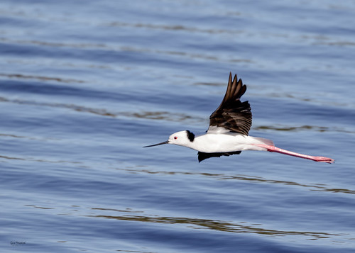 Black-winged Stilt | by gus.meredith