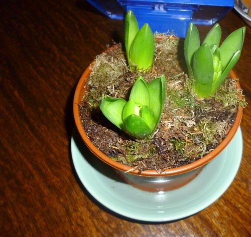 Hyacinths | by myeralan