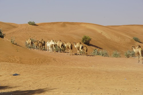 dubai safari camel hatta stoellchen