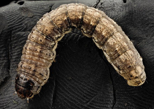 black cutworm, curled_2014-06-04-19.18.49 ZS PMax | by Sam Droege