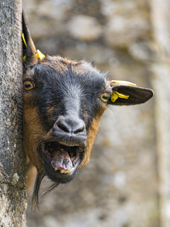 Goat behind the wall with open mough | by Tambako the Jaguar