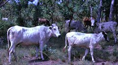 Tue, 01/20/2015 - 04:16 - Species name: Cattle (photo credit: ILRI).