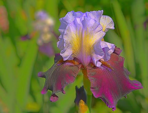 salem oregon usa irisgardens schreiners salemoregon iris color purple blue violet yellow green flowers flower bulb spring springtime spring2016 2016 bright wife willamettevalley gaylene easyhdr hdr nikon nikond7100 nikkonlenses 40mm afsmicronikkor40mm128g macro closeup bokeh dof depthoffield plant outdoor outdoors wow
