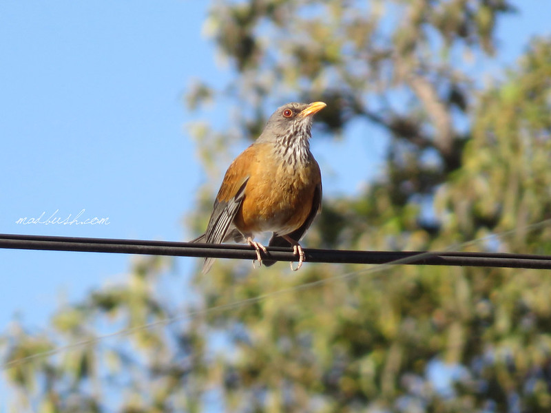 Rufous Backed Thrush (Turdus rufopalliatus) Mexico City