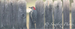 Red-bellied Woodpecker | by Soapbox Girl (Carol Anne)