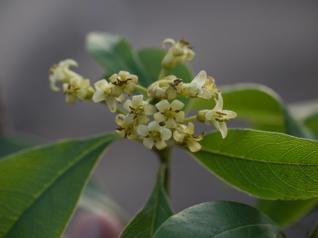 Pittosporum dasycaulon Miq.