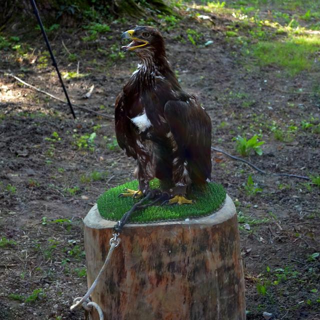 Steppe Eagle [Cordovado - 7 September 2014]