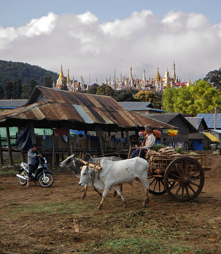 Oxen and Motorcycles at Shangrila at the End of Inle Lake (Myanmar)