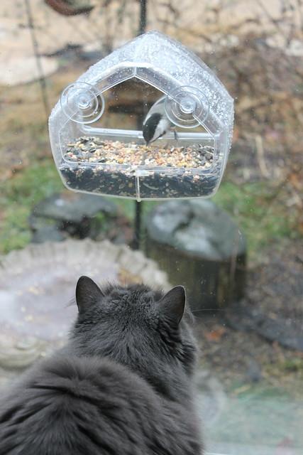 Wanda Watching Black-capped Chickadees on Cat TV (Saline, Michigan)