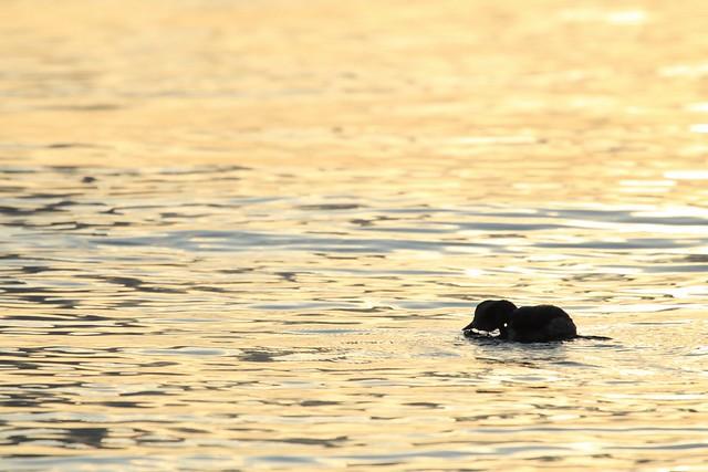 Sunset - Eared grebe