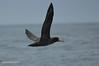 Steller's albatross (Phoebastria albatrus) by Albert Michaud