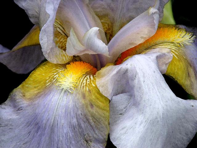 Bearded Iris (04)