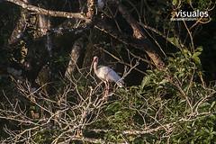 Ibis blanco - Eudocimus albus