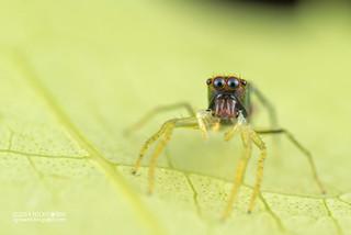 Wasp mimic jumping spider (Orsima ichneumon) - ESC_0045