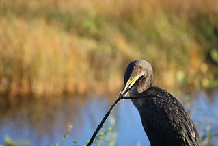 DOUBLE-CRESTED CORMORANT #4 | by cuatrok77